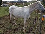 Linda égua mangalarga paulista pampa