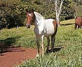 Égua pampa mm registrada - barriga é reserva