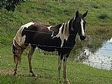 Egua pampa de preto mangalarga