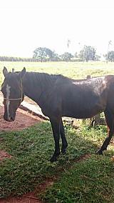 Égua de 3 anos quarto de milha