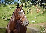 Égua registrada mangalarga marchador a venda linda matriz