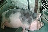 Mini porco femea com 3 anos