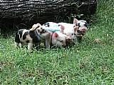 Mini porco linhagem mini alf. promocao machinho r$ 900, 00