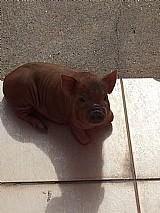 Vendo mini porco
