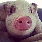 Mini pig/mini porco linhagem excelente,  super doceis