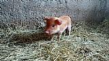 Mini porcos mini pigs casal para quem quer criar
