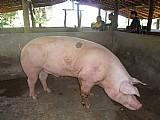Vendo urgente uma porca caipira ja com 5 porcos,  moti viagem