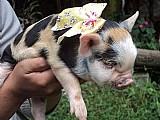 Mini porco ..excelente linhagem ..filhotes femeas ..