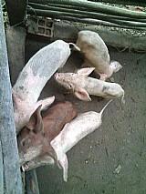 Porcos novos de raca a venda
