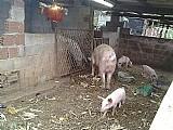 Porco reprodutor duroc adulto