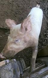 Porco branco a venda salvador porca femia crianda presa derna de pequena