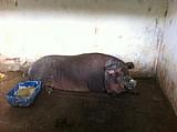 Porca caipiraa grande pra reproducao ou abate