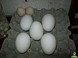 Ovos de ganso africano unidade