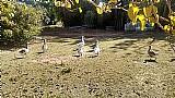 Ovos de ganso saudavel e venda dos gansos