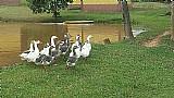 Ovos e gansas brancos de raca