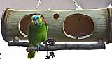 Toca dupla de bambu para papagaios,  cacatuas e viveiros