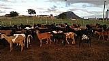 Ovinos e caprinos para abate