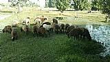 Ovelhas prenhas e cordeiras
