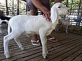 Venda de ovelhas em teresina