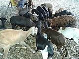 Carneiros e ovelhas em maracanaãº