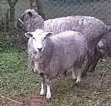 Ovelhas prenhas a venda em maracanaãº