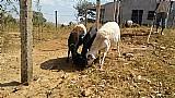Carneiros / ovelhas - estudo troca