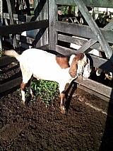 Bodes e cabras caprinos