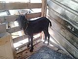 Bode cabrito cabra a partir de 260