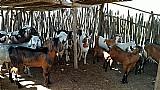 Bode reprodutor anglo nubiano
