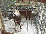 Cabras a venda em sjc bem cuidadas