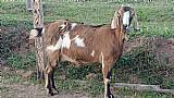 Cabra zebu a venda em sp
