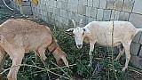 Cabras piner a venda