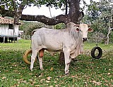 Lindos tourinho para reproducao,  inseminados super mansos,  criados a pasto