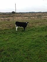 Vendo vaca holandesa terneira femea