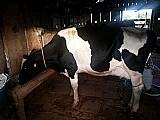 Gado,  vaca leiteira/ vaca holandesa