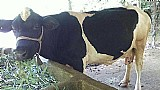 Vaca holandesa ,  boa de leite, 3438-6841