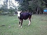 Vaca holandesas