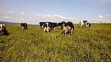 28 vacas holandesa