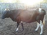 Vendo vaca holandesaa