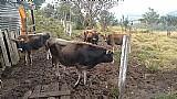Vendo vaca holandesa e terneiros 8 mes