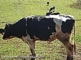 Vacas e novilhas holandesas