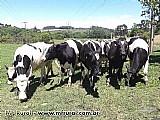 Novilhas e vacas em lactacao holandesas