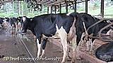 Novilhas e vacas holandesas plantel de alta producao,  com mais de 30 anos de selecao genetica