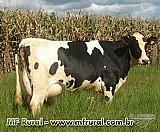 Vaca holandesa com 8 meses