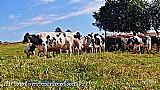 Vacas holandesas animais selecionados para alta producao e longevidade