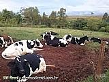 Vacas holandesas puras 15  vacas