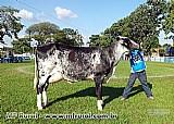 Vacas de alta lactacao