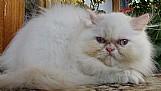 * vendo lindos filhotes de gatos persa e himalaia   *