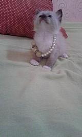 Gato filhote de ragamuffin