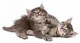 Filhote de gato ragamuffinn
